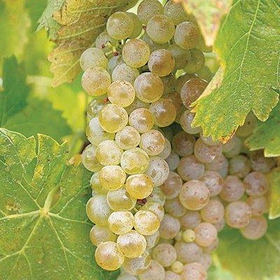 Grape Vine Phoenix