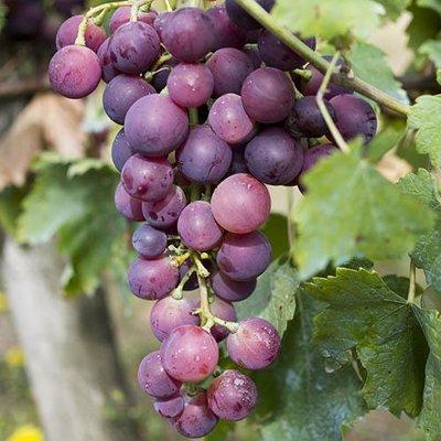 Red Grape Vine Red Globe in a 5L Pot 1.2-1.4m Tall