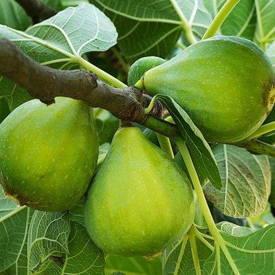 Fig tree 1-1.2M tall 17cm pot
