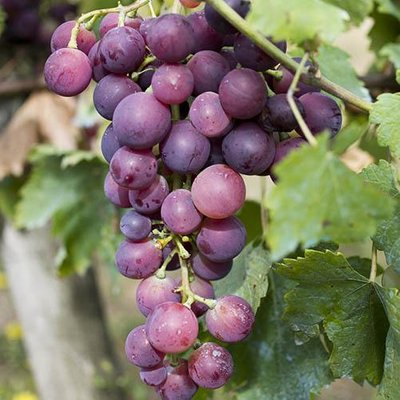 Table Grape RED 3L pot 75-80cm tall