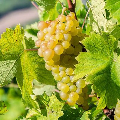Grape Vine White Bonsai 15cm pot