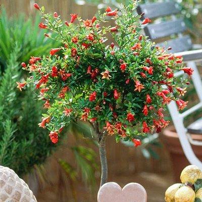 Pomegranate standard tree 1.4M. 22cm pot