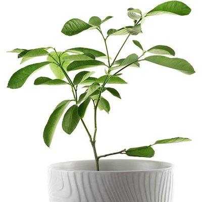 Citrus Lime Tree 9cm pot