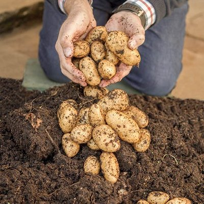 Grow Your Own Patio Potato Kit - 3 varieties, pots & fertiliser