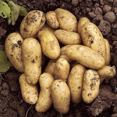 Seed Potato Charlotte - 6 Pack