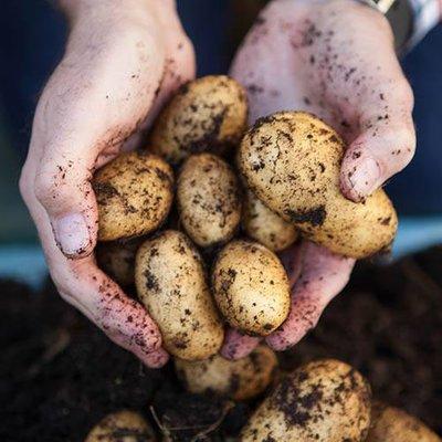 Seed Potato Swift - Pack of 6 Tubers