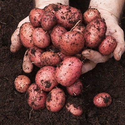 Seed Potato Desiree - Pack of 6 Tubers