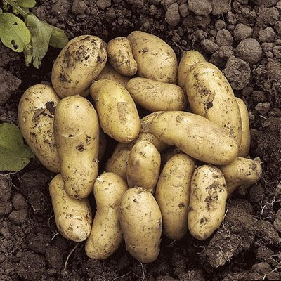 Seed Potato Charlotte - salad