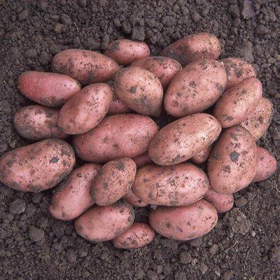Seed Potato Desiree - maincrop