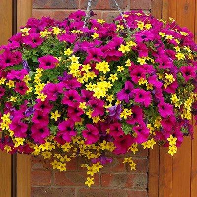 Summer Scorcher Surfinia Petunia Hanging Basket Plants - Pack of 24 Plugs