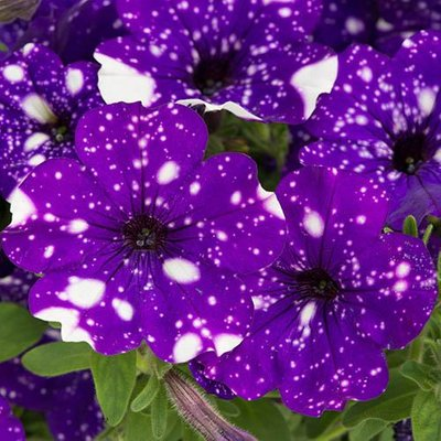 Petunia Purple Joy