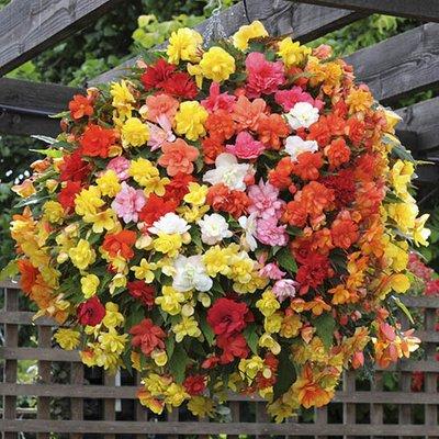 Begonia Super Cascade Mix