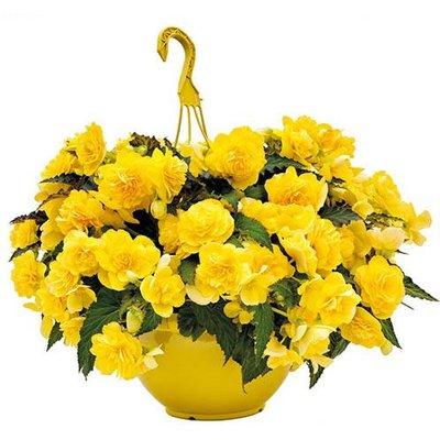 Begonia Non-Stop Joy Yellow Kit