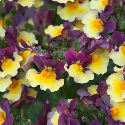 Nemesia Rhubarb and Custard 6 Jumbo Plugs