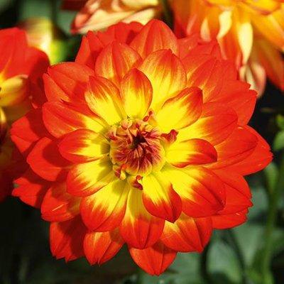Dahlia Lubega Power Yellow Orange x 6