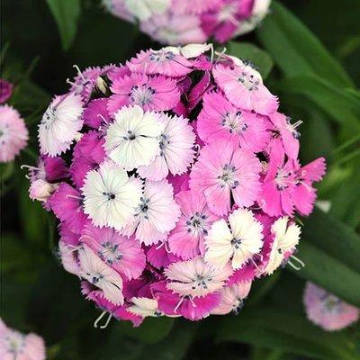 Dianthus barbatus Dash Magician Sweet William
