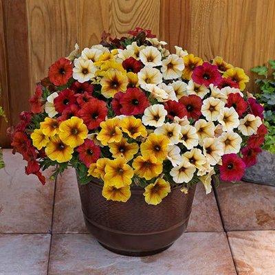 Petchoa Beautical Petunia Collection