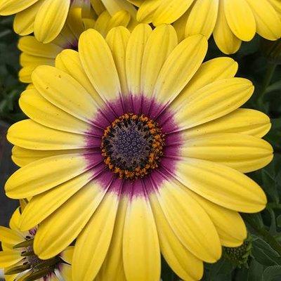 African Daisy Osteospermum Tropic Sun