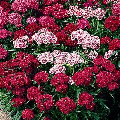 Sweet William Dianthus Indian Carpet