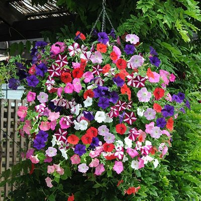 Petunia Easy Wave Ultimate Mixed