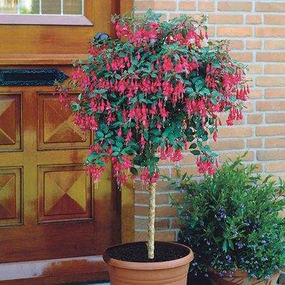 Flowering Standard Fuchsia Tree