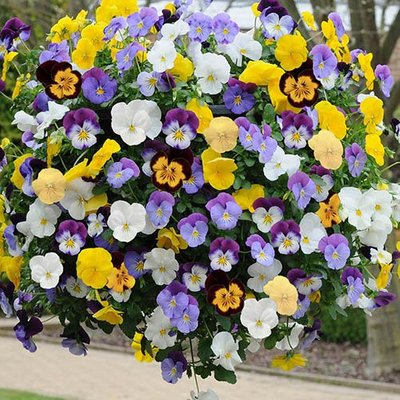 Pansy Cool Wave 11in Yellow Haning basket