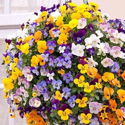 "Pre-planted Viola/Pansy Rattan basket 10"""