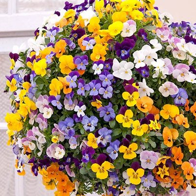 "Pair Pre-Planted Viola / Pansy 11"" Green Plastic Hanging Baskets"