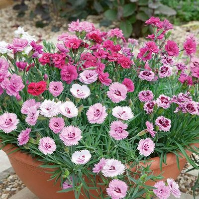Fragrant Hardy Devon Pinks Cottage Garden Collection Pack of 12 Jumbo Plugs