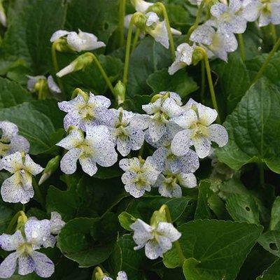 Hardy Violet Freckles Viola sororia