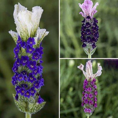 French Lavender Castillion set of 6 plug plants