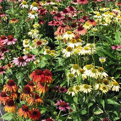 Echinacea purpurea Sunbuzzer Mixed Coneflower