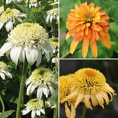 Hardy Double Echinacea Collection