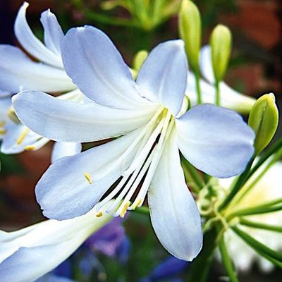 Agapanthus afric. Silver Baby garden ready