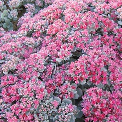 Sedum x cauticola Robustum Ruby Glow