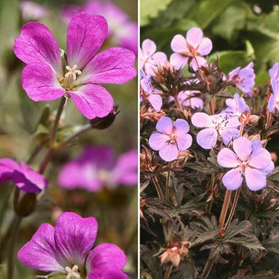 Dark Leaved Hardy Geranium Collection set x 6