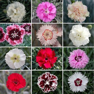 Dianthus Dwarf Pinks Collection