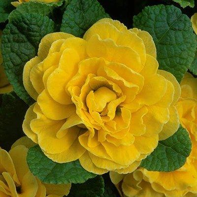 Double Primrose Primula Belarina Buttercup