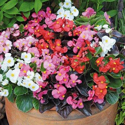 Begonia Organdy Mix