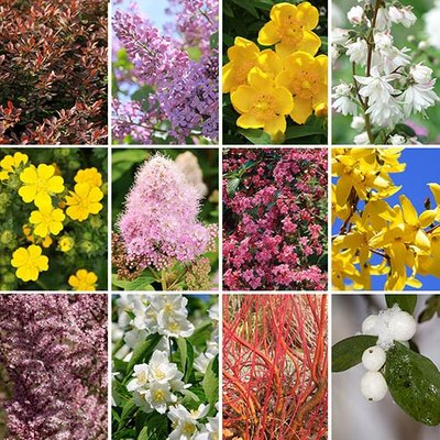 The Ultimate Winter Hardy Shrub Collection x 12 Mature Bushes