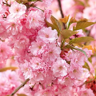 """Flowering Cherry tree Prunus """"Kanzan"""" bare root 1M"""