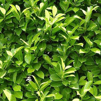 Laurel Hedging (Prunus laurocerasus) 9cm pot