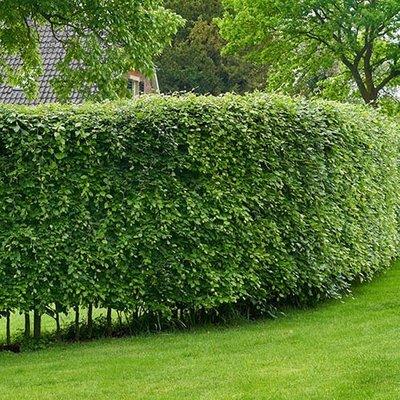 Hedging Plant Fagus sylvatica (Beech) 1-1.2M tall