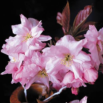 """Flowering Cherry """"Royal Burgundy"""" tree potted"""
