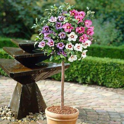 Hibiscus Tricolour Standard