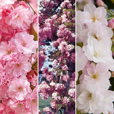 Flowering Cherry collection x 3 trees