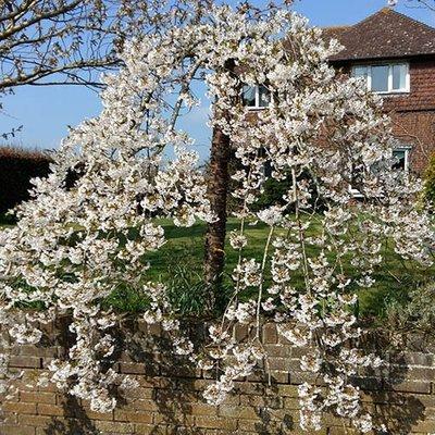 "Flowering Weeping Cherry ""Snowshowers"" Bare Root  tree 1-1.2M"