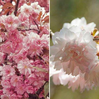 Pair Japanese Flowering Cherry trees 1.2m bare root