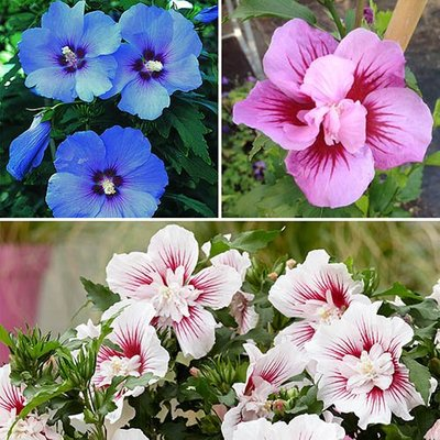 Hardy Hibiscus bush collection x 3 bare roots