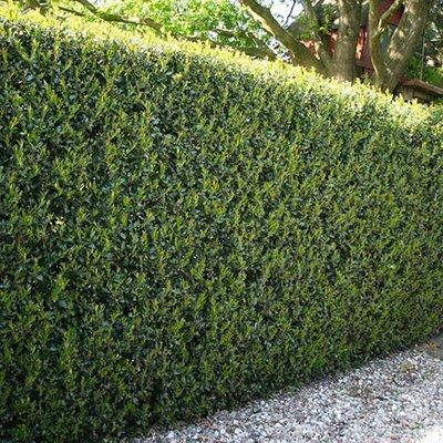Ilex crenata Green Hedge